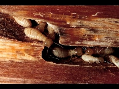 How can termites damage the house